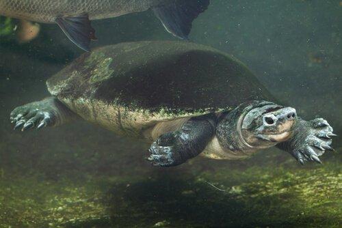 Tartaruga gigante da Malásia