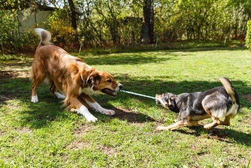 Cachorros brincando com uma corda