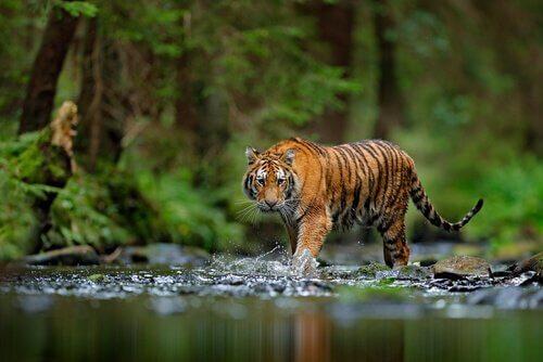 Tigre em perigo