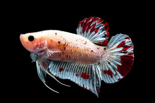 Peixe-beta