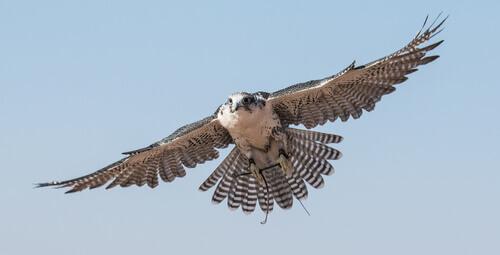 Falcão em pleno voo