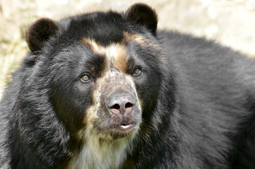 O curioso 'urso de óculos'