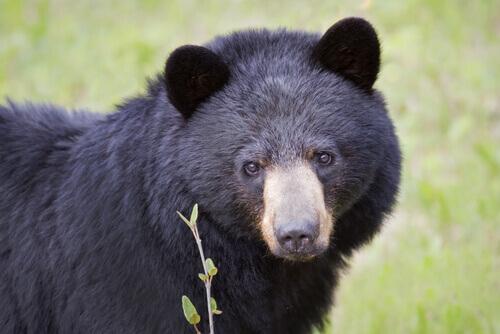 Urso-negro: o 'dono' da América do Norte