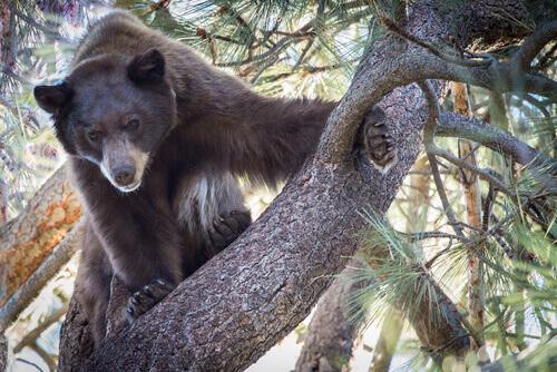 Urso-negro em árvore