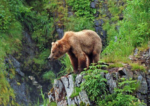 Urso pardo, o mais famoso das florestas