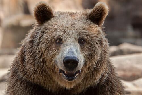 urso pardo europeu