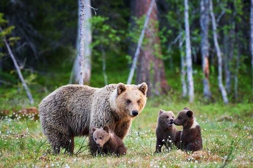 filhotes de urso pardo com a mãe