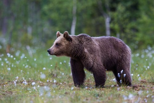O urso é um animal característico do Canadá