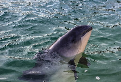 Vaquita marinha