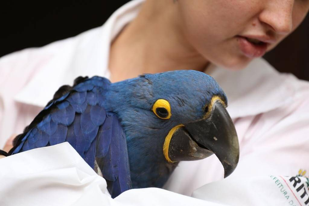 Veterinária com uma arara azul