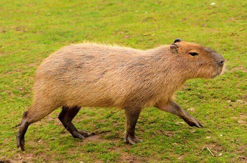 5 animais endêmicos da América do Sul