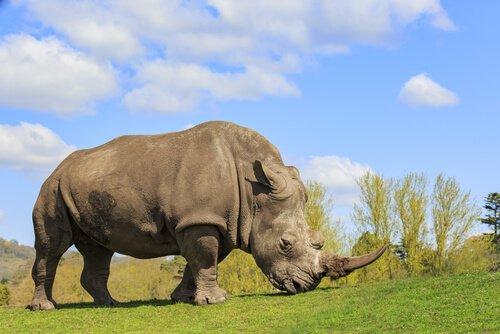 Conheça as espécies de rinocerontes que existem hoje