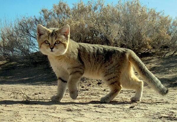 Gato do deserto