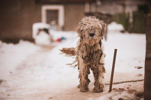 Cachorro sujo e preso na neve e na coleira