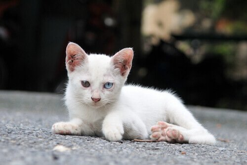 Filhote de gato com olhos de cores diferentes