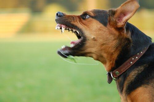 Problemas de comportamento em cães: agressividade