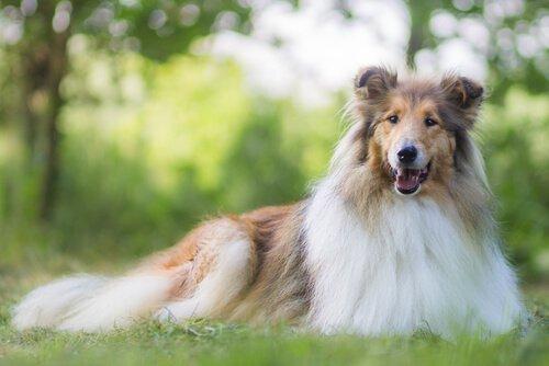 O que você deve saber sobre a alimentação de cães de pelos longos