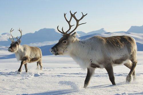 5 animais da Tundra: conheça estas espécies