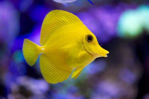 O peixe-cirurgião tem um belo tom de amarelo