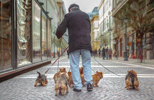 Senhor passeando com vários cachorros Yorkshire