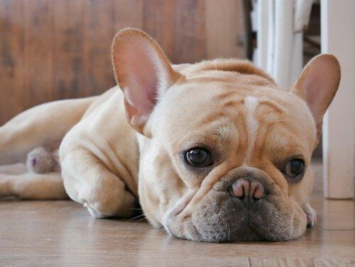 Cachorro abatido