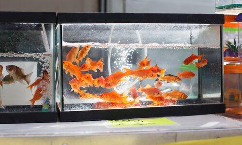 aquário com peixinhos dourados