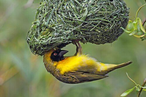 Pássaro tecelão
