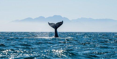 Cauda de baleia