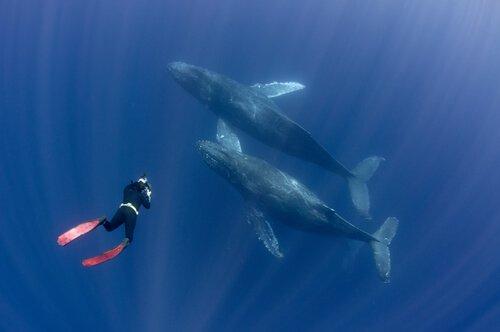 Mergulhador fotografando baleias