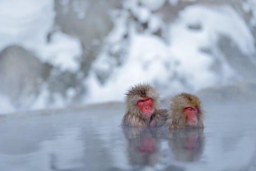 Macacos da neve e seus banhos termais