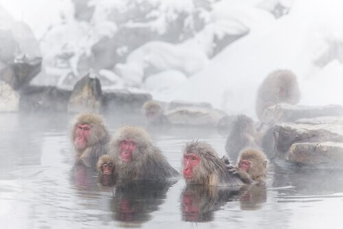 banhos termais dos macacos da neve
