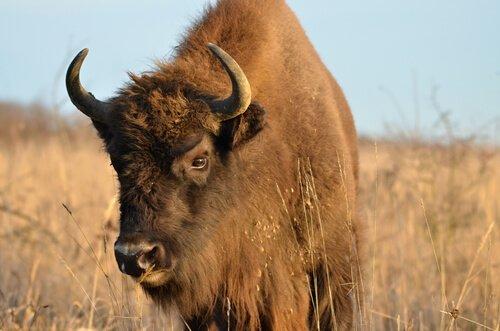 Diferenças entre bisões, gnus e búfalos