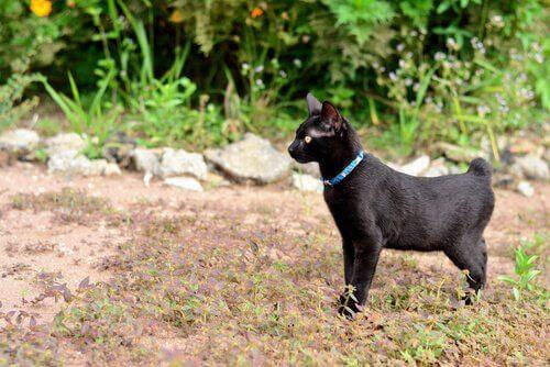 Bobtail japonês: cuidados e comportamento