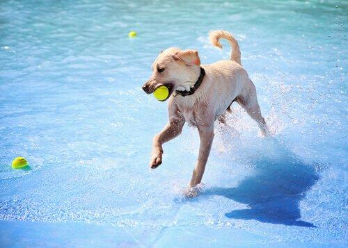 bola na piscina com seu cão