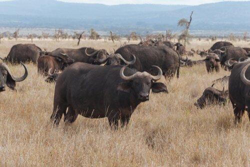 Diferenças em relação a bisões, gnus e búfalos