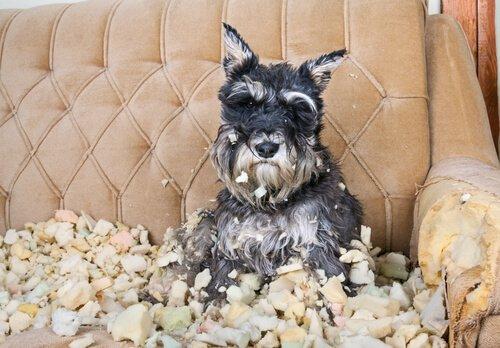 cão destruidor do sofá