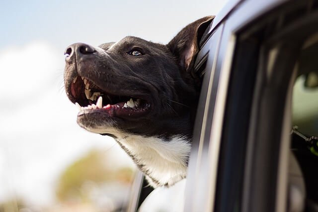 cão na janela do carro