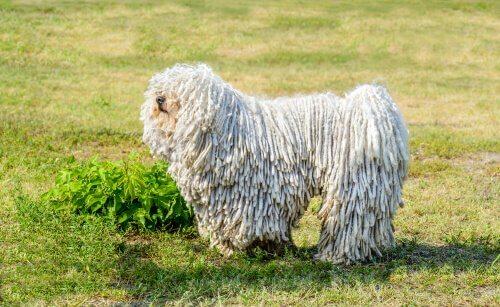 algumas raças de cães em perigo de extinção: Puli