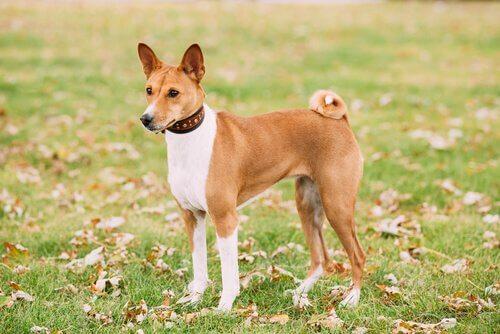 cães que não causam alergia: Basenji