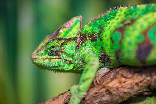 Como é a camuflagem do camaleão?