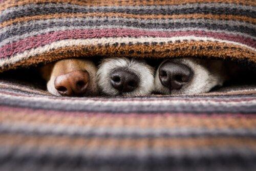 Focinhos de cachorro