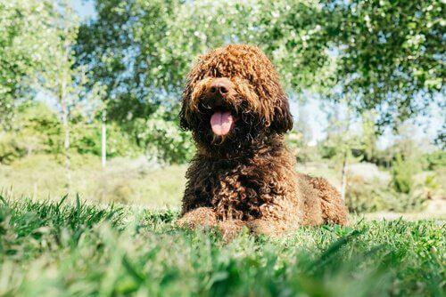 Cão de água espanhol