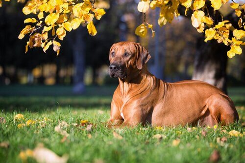raças de cães em perigo de extinção: rhodesian crested