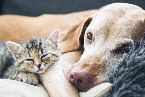 Cachorro idoso dormindo com gatinho