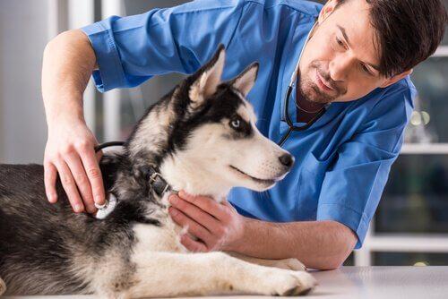 Filhote de husky siberiano no veterinário