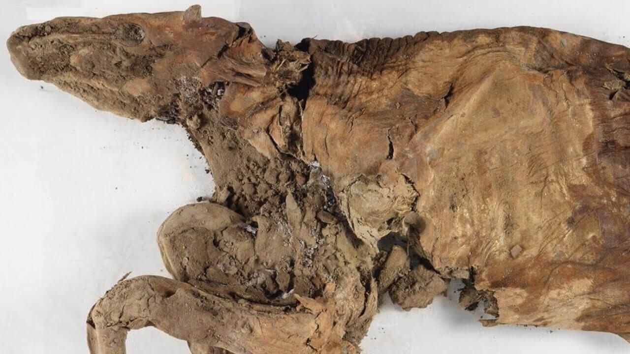 rena mumificada (caribu)