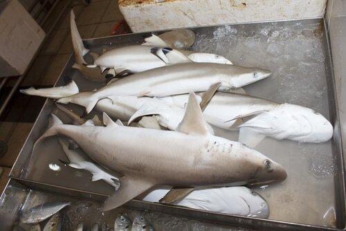 podemos comer carne de tubarão?