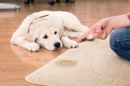 Cachorro sendo repreendido porque fez xixi no tapete