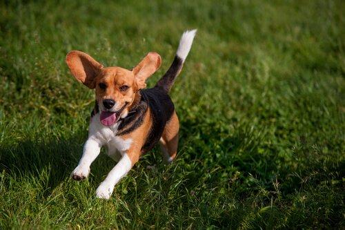 Cachorro correndo feliz