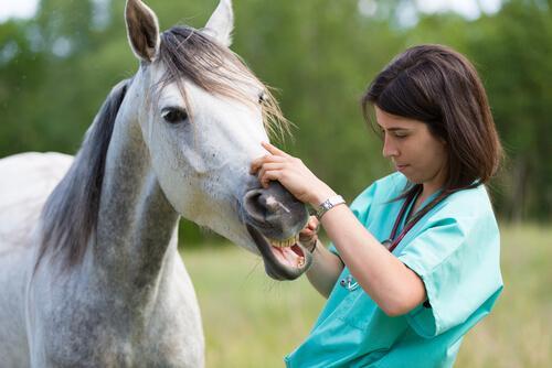 Veterinária examinando boca de um cavalo